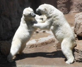 Zoo-PolarBears